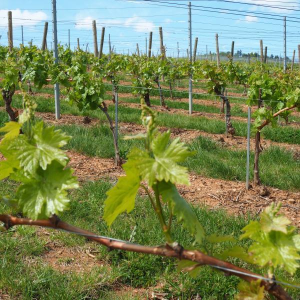 Vigne collection